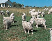 Angoraziege - Eine Herde Angoraziegen