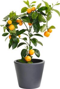 Apfelsinenbaum - Kleiner Apfelsinenbaum in einem Topf