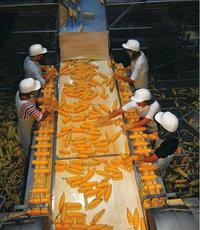 Band - Arbeiter beim Sortieren von Mais am Band