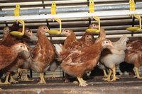 Batteriehaltung - Hennen in einer Legebatterie