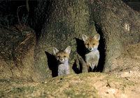 Bau - Eingang eines Fuchsbaus