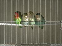 Bauer - Vögel im Bauer