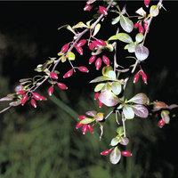 Berberitze - Zweige der Berberitze