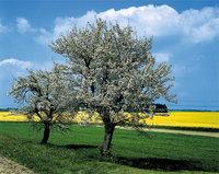 Birne - Zwei Birnen an einem Feldrand