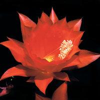 Blattkaktus - Blüte des Blattkaktus