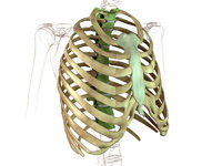 Brustbein - Modell eines Brustbeins mit Rippen und einem Teil der Wirbelsäule