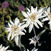 Edelweiß - Blüten des Edelweiß
