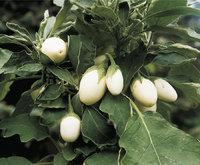 Eierpflanze