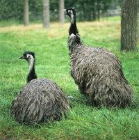 Emu - Emus