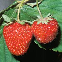 Erdbeere - Erdbeerpflanze mit Früchten