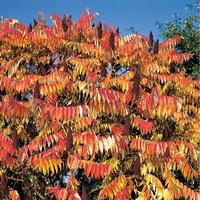Essigbaum - Blätter des Essigbaums im Herbst