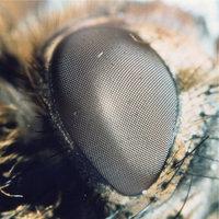 Facettenauge - Facettenauge einer Stubenfliege