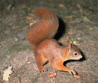 Fahne - Fahne eines Eichhörnchens