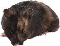 Fell - Hamster mit braunem Fell