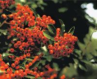 Feuerdorn - Früchte eines Feuerdorns