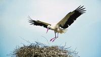 Flügel - Storch mit ausgebreiteten Flügeln