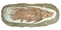 Fossil - Fossil eines Fisches
