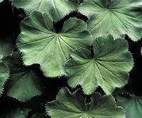 Frauenmantel - Blätter eines Frauenmantels
