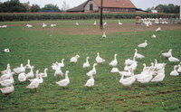 Freilandhaltung - Freilandhaltung von Geflügel