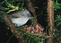 Fütterung - Ein Vogel bei der Fütterung seiner Jungen