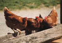 Futtertrog - Hühner am Futtertrog