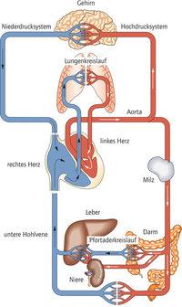 Gefäßsystem