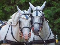 Geschirr - Pferde mit Geschirr