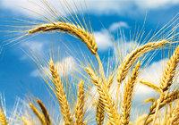Getreide - Getreide (hier: reife Gerstenähren)
