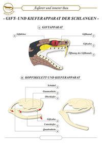 Giftdrüse - Giftdrüse der Schlange
