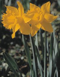 Glocke - Glocken (Blüten) von Narzissen