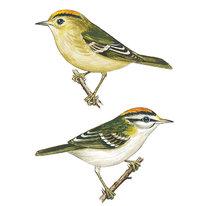 Goldhähnchen - Wintergoldhähnchen (oben) und Sommergoldhähnchen (unten)