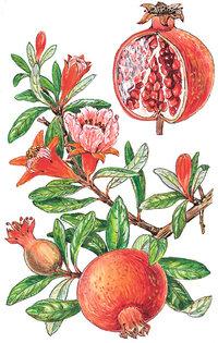 Granatapfel - Früchte und Zweig
