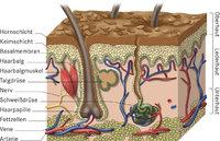 Haarbalg - Querschnitt der Haut mit Haarbalg