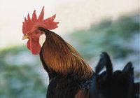 Hahnenkamm - Kopf eines Hahnes mit Hahnenkamm