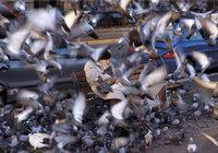 Haufen - Viele Tauben auf einem Haufen