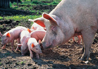 Hausschwein - Hausschwein mit Ferkeln