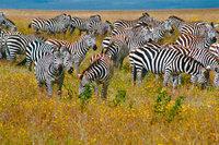 Herde - Eine Herde Zebras