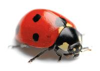 Herrgottskäfer