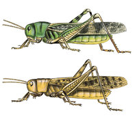 Heuschrecke - Weibchen der Europäischen Wanderheuschrecke, Solitärphase (oben) und Wanderphase