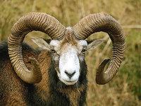 Horn - Mufflon