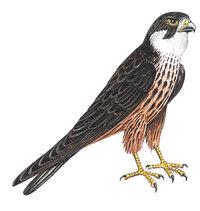 Hose - Falke mit Hose