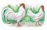 Huhn - Hühner
