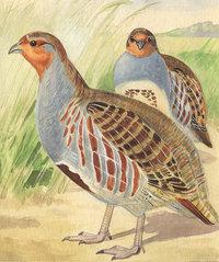 Huhn - Zwei Hühner