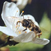 Insekt - Insekt (Biene)