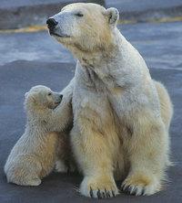 Junges - Eisbären: Junges und Mutter