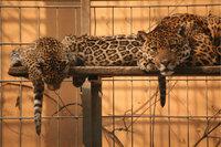 Käfig - Raubtiere in einem Käfig