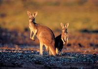 Känguru - Zwei Kängurus