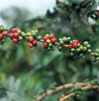 Kaffee - Kaffeesamen am Strauch