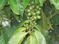 Kaffee - Kaffee mit Samen