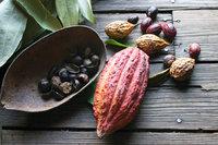 Kakao - Frucht und Samen des Kakaobaumes